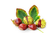 Horse-chestnuts fruits and leaf isolated — Stock Photo