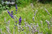Lavendel en zaden — Stockfoto