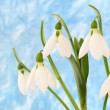 Stock Photo: Spring snowdrop flowers