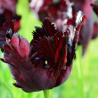 Black parrot tulip closeup — Stock Photo