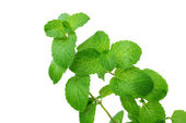 Apple Mint (Mentha suaveolens) — Stock Photo