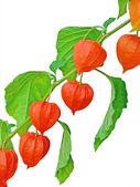 Branch of Chinese Lantern fruits — Stock Photo