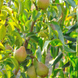 Pear tree with fruit — Stock Photo