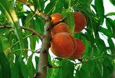 Peach tree with ripe fruit — Stock Photo