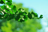 Sprig of ginkgo biloba — Stock Photo