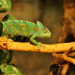 Chameleon crawling on branch - Stock Photo