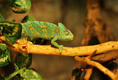 Chameleon crawling on branch — Stock Photo