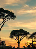 Acacia trees in Florence vertical image — Stock Photo