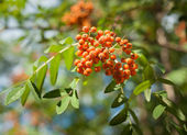 Rowan Sorbus aucuparia — Stock Photo