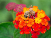 Close up of a bee on flower — Stock Photo