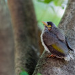 Baby Noisy Miner Bird - Photo
