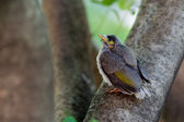 Baby Noisy Miner Bird — Stock Photo