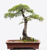Bonsai Prime — Stock Photo