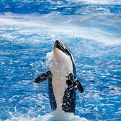 Orca Is Above the Water Smiling — Стоковое фото