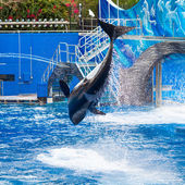 Orca is Jumping and Showing the Whole Body — Stock Photo