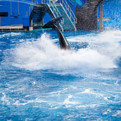 Orca is Jumping and Showing Her Tail Fin (half way under the w — Stock Photo