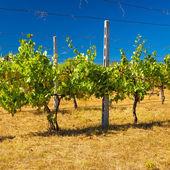 夏の暑い日中にタスカニーのブドウ園 — Stock fotografie