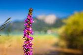 Sul lago alpino con un fiore di beautifull viola nella foregrou — Foto Stock