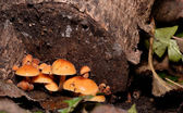 Honey fungus on the stump — Stock Photo