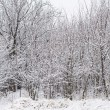 Snowy bare trees in a dense grove — Stock Photo