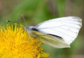 Farfalla impollinatrice giallo tarassaco e suggere il nettare — Foto Stock