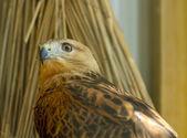 Golden eagle — Stock Photo