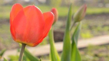 Ogród tulipan. stojak ostrości i dolly w. — Wideo stockowe