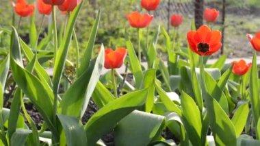 Tulip Garden. Dolly shot. — Stock Video