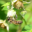 Bee pollinate a raspberry — Stock Video