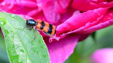 Red insect drink water on a peony — Stock Video
