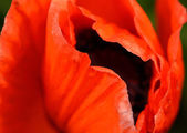 Poppy bud closeup — Foto Stock