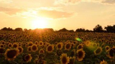 Sunset timelapse on sunflowers field — Stock Video