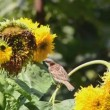 Sparrows eating sunflower seeds — Video