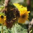 Sparrows eating sunflower seeds — Stock Video