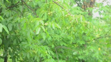 Branches of a walnut tree during rainfall — Stock Video