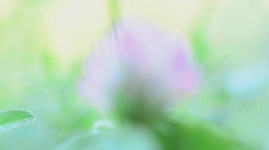 Green clover leaves covered with dew. Rack focus and dolly in-out — Stock Video