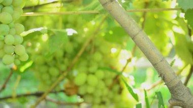 Vineyard. Motorized dolly shot. — Stok video