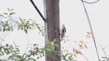 Woodpecker, sits on a pillar — Stock Video