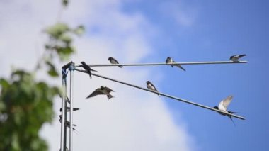 Family of martlets sitting on the TV antenna — Stock Video