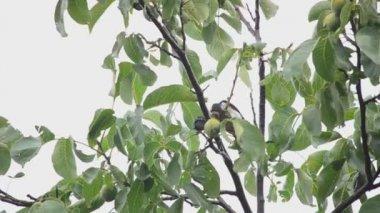 Woodpecker eats walnuts on a tree — Stock Video