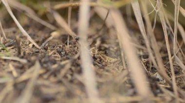 муравьи на муравейнике крупным планом, долли выстрел — Стоковое видео