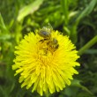 Foto Stock: Bee on dandelion