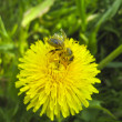 Bee on dandelion — 图库照片 #14944085