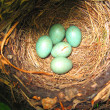 Eggs In Nest — Stock Photo #17165629