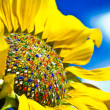 Colorful sunflower — Stock Photo