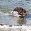 Dog retrieving ball in water - Stock Photo