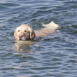 Dog swimming to shore - Stock Photo