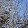 Blue heron in tree by lost lagoon - Stock Photo