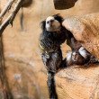 Stock Photo: Some marmosets playing