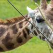 Giraffe peacefully chewing leaves — Stock Photo